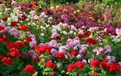 How do you plant a rose garden?