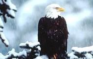 A eagle in the cold tundra biome