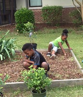 3rd graders weeding before planting blueberry bushes