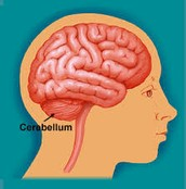 Cerebellum location