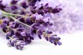 Lavender Suprise