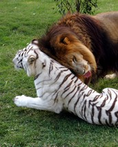 Why I Love Tigers & Lions