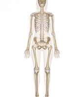 How skeletal system relates to homeostasis
