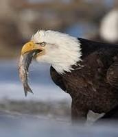 Bald eagle eating.