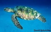 Green Sea Turtle   (AKA Chelonia mydas)