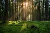 Caminas en la Bosque