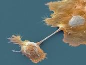 cytoplasm pool