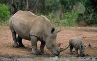 A Black Rhino and a Calf
