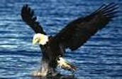 Bald Eagle finding fish.