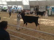 showing cows
