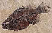 The Fossil of a Fish