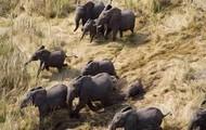 Migration elephant