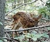 Land life. White tailed deer.