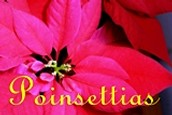 Poinsettia Donations - RSVP by Dec. 13