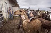 Alpaca being rescued from ranch.