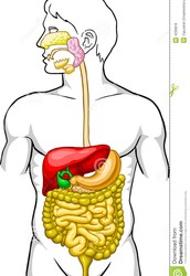 Homeostasis and the Digestive System