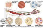 connective tissue in arm