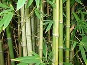 Bengal Bamboo (Bambusa tulda)