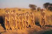 Meerorkats of Botswana