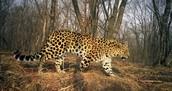 Amur leapards