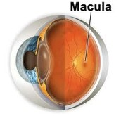 The Macula