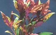 Telanthera Plant