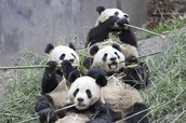 Baby pandas eating Bamboo
