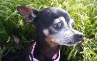 Popo -- 10 yr old, 2.5 lb Chihuahua Female