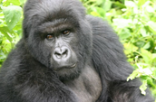 Female gorillas