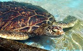Why this turtle is facing Extinction...