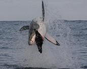 How great white  Sharks Hunt