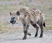 The Fast Hyena