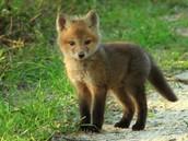 A fox!