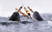 Narwhals may use their tucks to skewer stuff