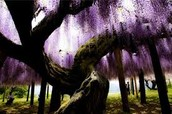 wisteria on trees