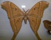the hercules moth