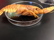 Crayfish in a cup
