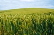 corn in filed