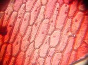 Skin Cell