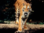 This a Bengal Tiger
