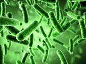 salmonella germ