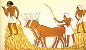 Threshing of grain in ancient Egypt