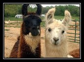 Two Lamas together