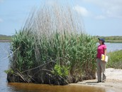 How Invasive are the Common Reeds, Anyway?