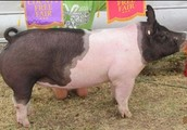 Our company sells the best hogs in the state