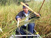 Knocking wild rice