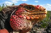 Rock iguanas, Islands & Lakes gallery