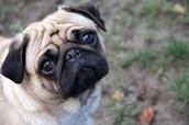 Puppy +