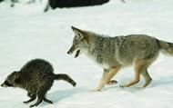 Wolf and Raccoon