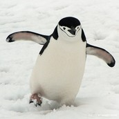 This is a chinstrap penguin my favorite one
